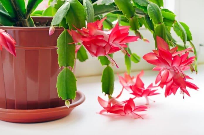Christmas-Cactus-Bloom