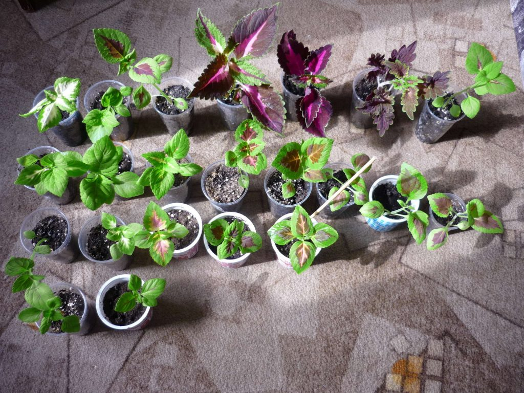 Coleus-from-Cuttings