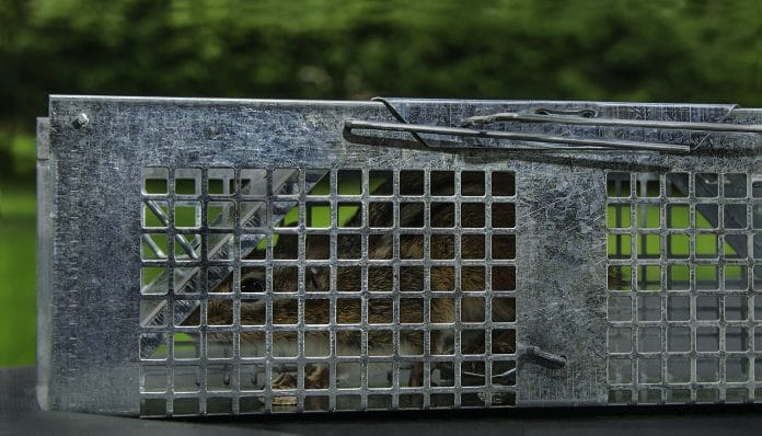 How-to-Trap-Chipmunks