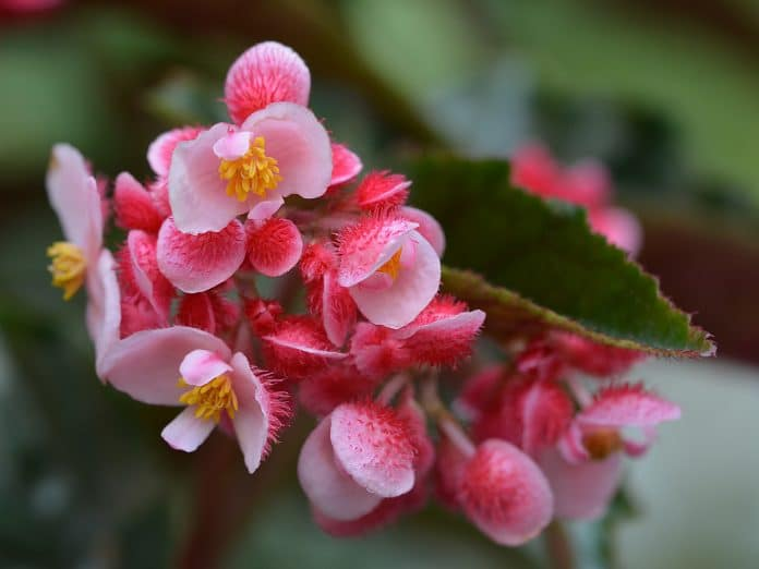 Pink-Annual-Flowers