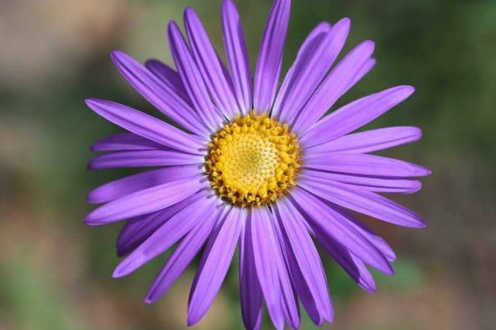 Purple-Asters