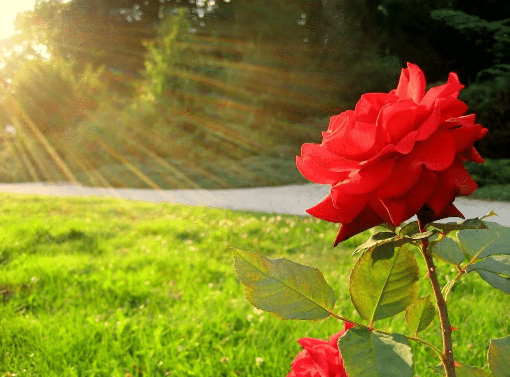 Transplant-a-Rose-Bush-in-Summer