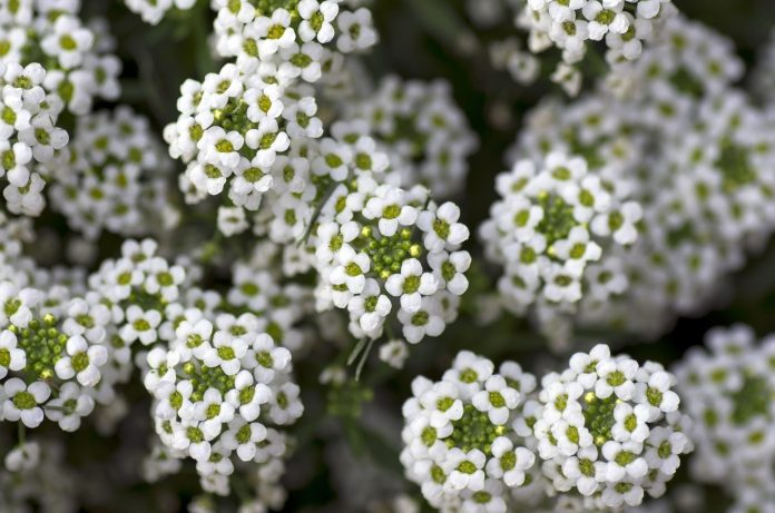 White-Annual-Flowers