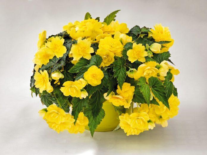 Yellow-Begonia-Microclimates