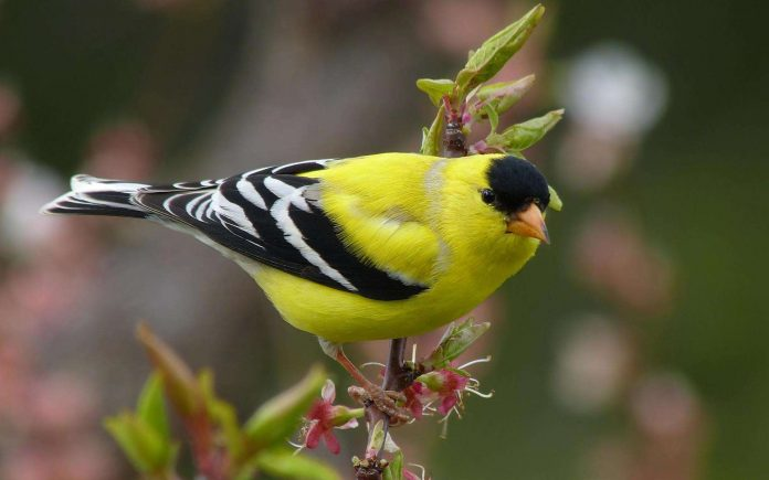 How-to-Attract-Goldfinches