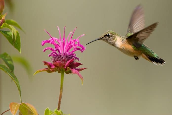 Bee-Balm-Attract-Hummingbirds