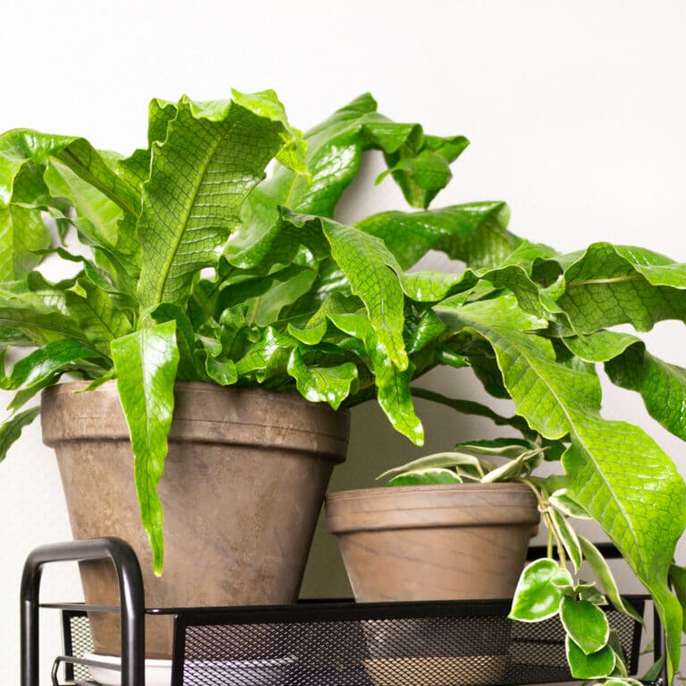 Crocodile Fern Plant: How to Care for Microsorum Indoors