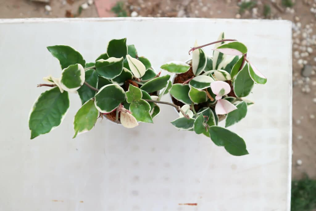 Hoya-Carnosa-Tricolor