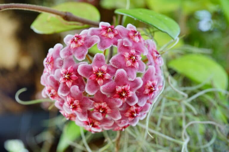 Hoya Krimson Queen – A Care Guide for the Variegated Hoya